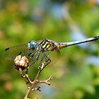 Swift Long Winged Skimmer by WildestArt