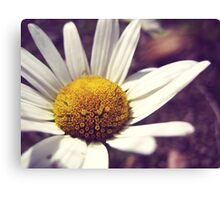 Daisy in daylight Canvas Print