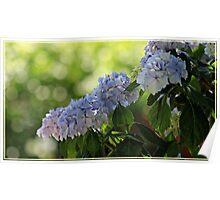 ~ Blue Hydrangea ~ Poster