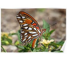 Gulf fritillary butterfly sideview Poster