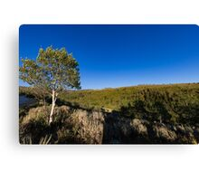 Quaking Aspen in the mountains Canvas Print