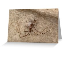 Female daddy long legs spider with eggs  Greeting Card