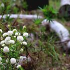 Pimelea in the Bush by kalaryder