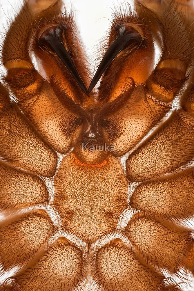 Shed skin of a curly hair tarantula by Kawka