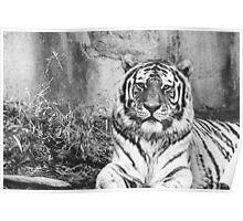 Brilliant Tiger  Poster
