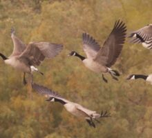 Geese as they fly  Sticker