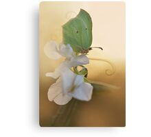 Green butterfly on the white sweet pea Canvas Print