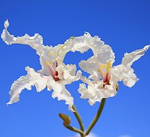 Coffee Bush Purity - Wild Flowers from Africa - Delicate Beauty by LivingWild