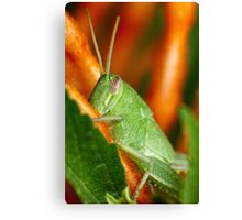 Hopper on lion's tail Canvas Print