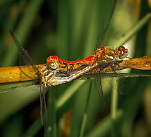 Dragonflies Mating by RandyHume