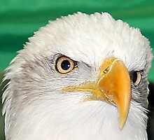 Eyes of an Eagle Photographic Print