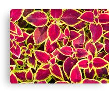 Decorative red and yellow coleus Canvas Print