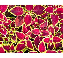 Decorative red and yellow coleus Photographic Print