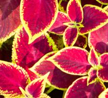 Decorative red and yellow coleus Sticker