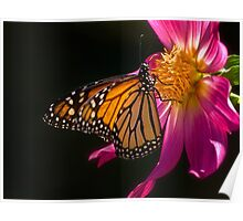 Monarch sipping dahlia nectar Poster