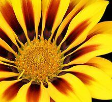 Sunburst by PhotosByHealy