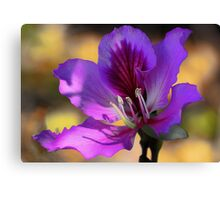 Hong Kong Orchid Tree Blossom --- Early Morning Light Canvas Print