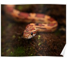 Red Corn snake, Animal Photography, Red, Reptile Poster