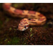 Red Corn snake, Animal Photography, Red, Reptile Photographic Print