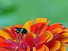 Black Bee by Susan S. Kline