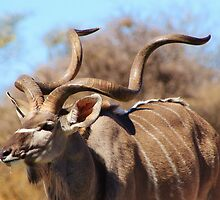 Kudu Bull - African Wildlife Background - Spiral Pride by LivingWild