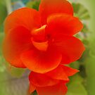 Orange Geranium by katpix