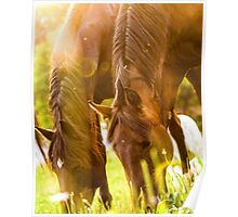 Two horses grazing at sunset Poster