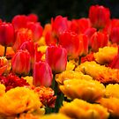 Red and Yellow Tulips by KellyHeaton