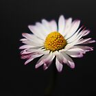 Common Daisy by Alan Harman