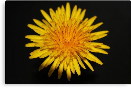 Dandelion Flower by Alan Harman