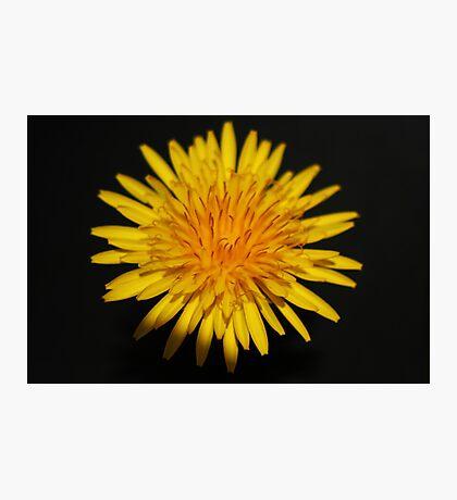 Dandelion Flower Photographic Print