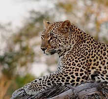 Lounging Leopard  by Vanessa  Warren