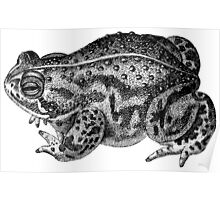 Hereford Toad Poster