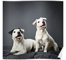 Jack Russell terrier puppy and female Poster
