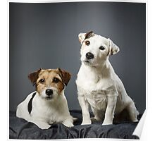 Jack Russell terrier male and female Poster