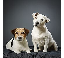 Jack Russell terrier male and female Photographic Print