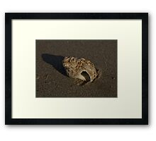 Weathered Whelk on Fahan Beach Framed Print
