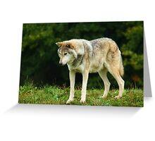 European Timber wolf Greeting Card