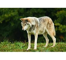 European Timber wolf Photographic Print