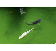 Yin and Yang Koi Fish Photographic Print