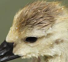 Canada gosling Sticker