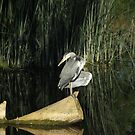 Heron in the morning sun by JanSmithPics