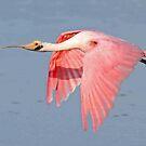 Roseate Spoonbill in flight by jozi1