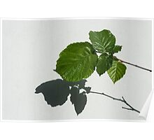 Sophisticated Shadows - Glossy Hazelnut Leaves on White Stucco - Horizontal View Left Upwards Poster