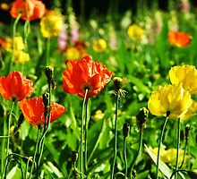 Colorful poppies by haroula