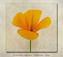 Eschscholzia californica  Californian Poppy by John Edwards