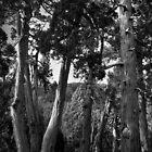 Pencil Pine Grove, Dixon's Kingdom, Tasmania by Andrew Smyth