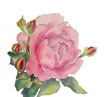 English rose by Beatrice Cloake