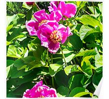 fucsia flowers Poster