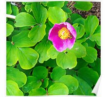 pink fucsia flower Poster